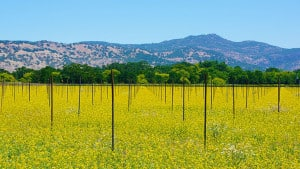 Weinanbau im Napa Valley, USA