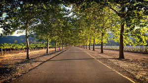 Straße mitten durch ein Weingut im Napa Valley, Kalifornien