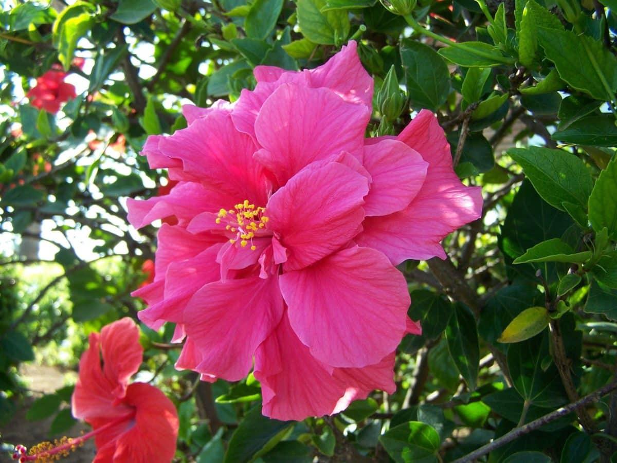 Hibiskus Blüte auf Hawaii.