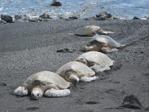 Schildkröten-Wanderung auf Hawaii.